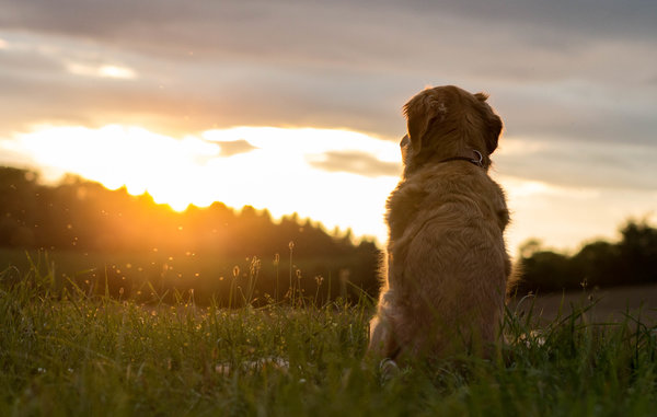 flein, sonne, hund, golden-retriever