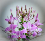 Cleome (Spinnenblume)