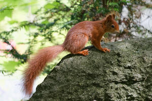 Squirrel - 1: