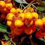 Beeren in orange