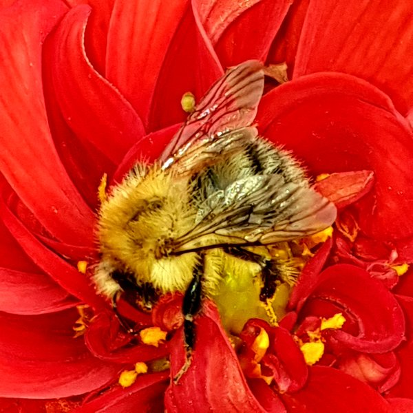 hummel, rote-blüte