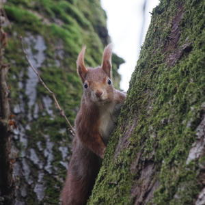 Eichhörnchen  /  Squirrel